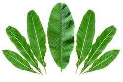 Green Banana leaves isolated
