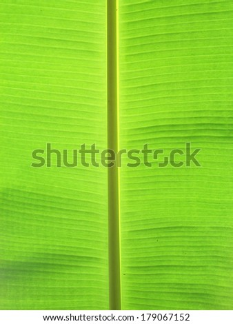 Green banana leaves use for the background
