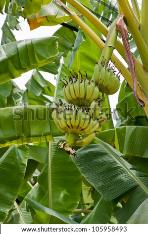 green banana on tree