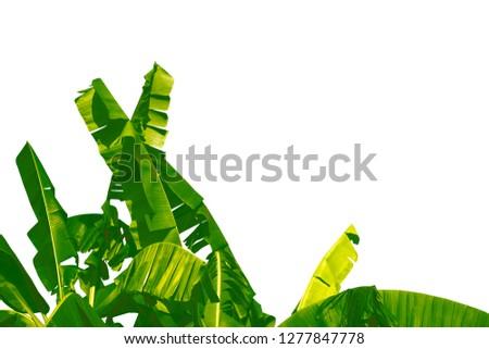 Green banana tree Sky background