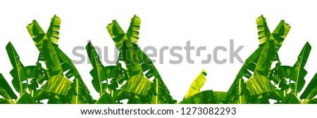 Green banana tree white background