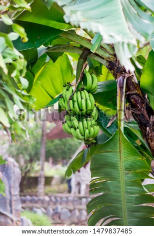 Green bananas are hanging on the tree under big leaves. One sheet hangs down