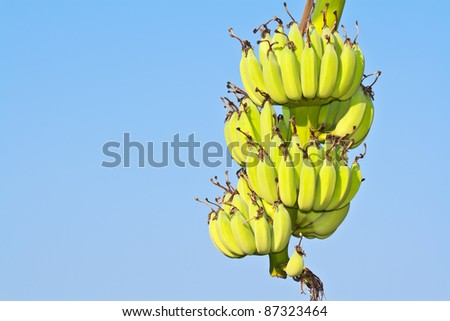 Green bananas on a tree and the blue sky
