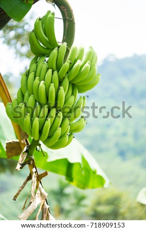 Agriculture Banana Bunch Crop Food Free Images Free Photos