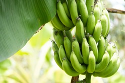 Green bananas on banana Tree.Food agriculture farm business concept.