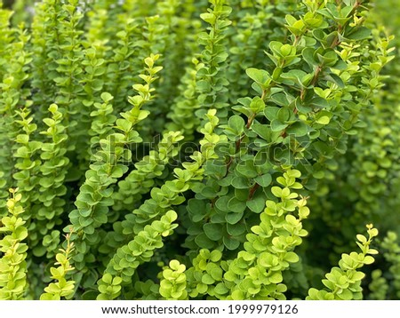 Green barberry bush. Shrub of fresh green barberry. Fresh green color leaves. Berberidaceae branches. Berberis commonly known as barberry, is large genus of deciduous and evergreen shrubs from 1–5 m. Stock photo ©