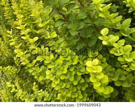 Green barberry bush. Shrub of green barberry. Fresh green color leaves. Berberidaceae branches. Berberis commonly known as barberry, is  large genus of deciduous and evergreen shrubs from 1–5 m. Stock photo ©