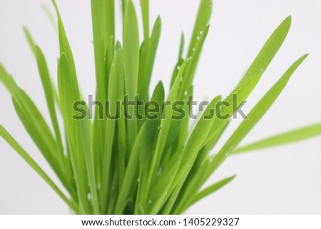Green barley buds and barley seeds #1405229327