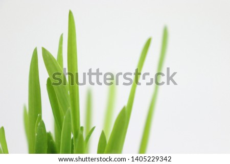 Green barley buds and barley seeds #1405229342