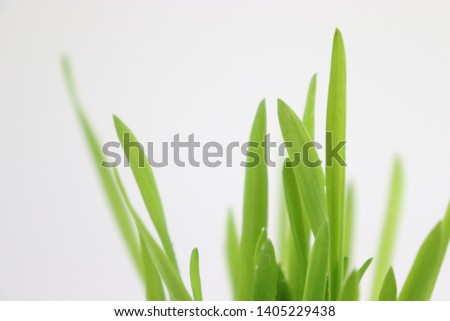 Green barley buds and barley seeds