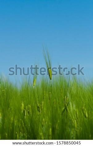Green barley ears. Barley field. Green ears of barley close-up on a background of barley field