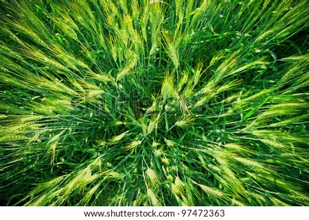 Green barley field , Top view