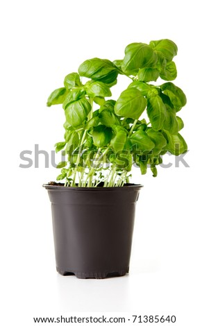 Green basil in black plastic pot isolated on white.