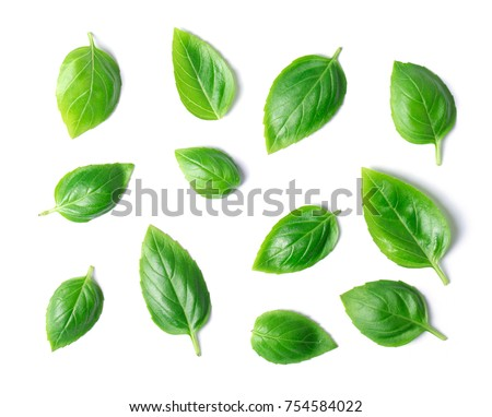 Green basil leaves isolated on white background #754584022