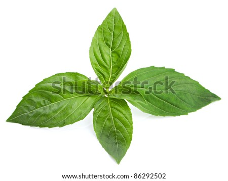 Green basil leaves isolated on white background
