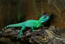 Green basilisk lizard in zoological garden