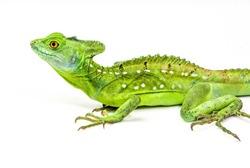Green Basilisk Lizard Staring