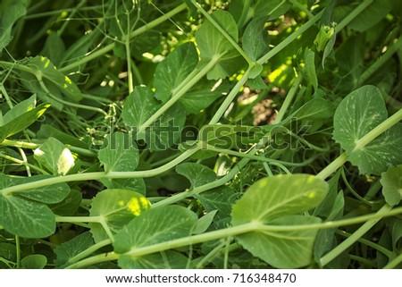 Green bean bushes in field #716348470