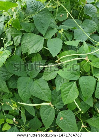 Green beans are the unripe, young fruit and protective pods of various cultivars of the common bean. Immature or young pods of the runner bean, yardlong bean, and hyacinth bean are used in a similar w