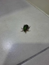 green beatle in the house