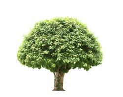 Green beautiful and big tree