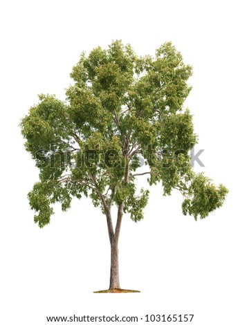 Green beautiful and tall tree isolated on white background