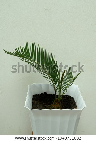 Green beautiful sikas palm or penawar jambe palm - Palm Penawar Jambe atau palm sikas atau pakis haji Photo stock ©