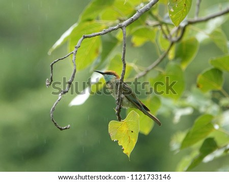Green Bee-eater (Merops orientalis) perched on a tree branch in a rainy day. Beautiful bird in rain drizzle drops against lush green foliage background.