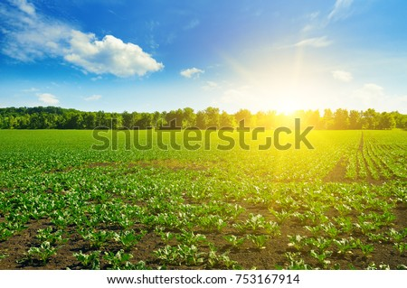 green beet field and blue sky #753167914