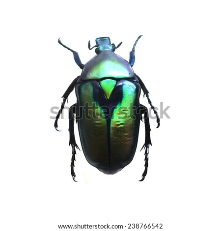 green beetle isolated, Set of realistic colorful tropical beetle and insect, zoology,wild ,entomology, one alive exotic butterfly with beautiful wing collection ,insect animal stuff icon #238766542