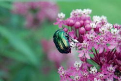 green beetle that nests on pink flowers in summer. insects.