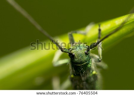 green beetle with long antennas sitting on a plant