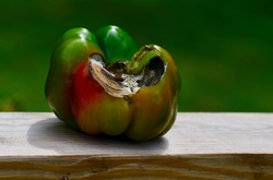 Green Bell Pepper with End Blossom Rot