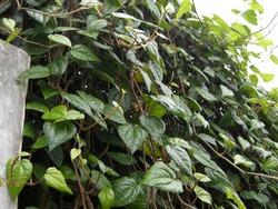 green betel or sirih hijau plants growing on a fences