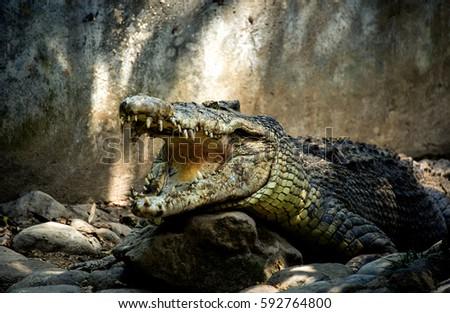 green big crocodile with open jaws and big teeth is on the rocks stock photo