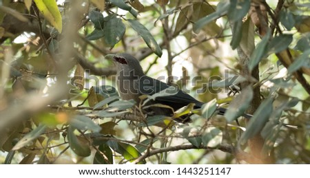 Green Billed Malkoha. The green-billed malkoha (Phaenicophaeus tristis) is a species of non-parasitic cuckoo found throughout South and Southeast Asia.