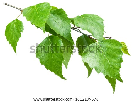 Green birch branch on white background. Symbol of birch tree which is widely used in manufacturing; medicine, cosmetology and food processing. Photo stock ©