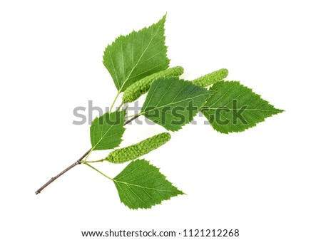 Green birch buds and leaves isolated on white background Photo stock ©