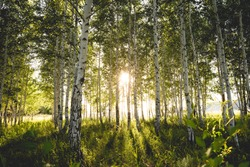 Green birch forest at sunset. Sun rays. Horizontal photo