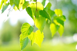 Green birch leaves lit by the bright rays of the sun. Joyful summer mood. Close-up. Defocus. Tree leaves.