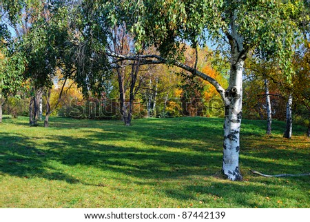 green birch on glade and autumn trees on background