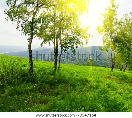 green birch tree in sunlight - stock photo
