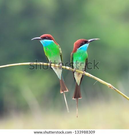 Green bird (Blue throated Bee eater) bird of Thailand