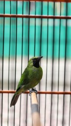 Green bird known as Blue-winged Leafbird or Jerdon's Leafbird in a wood cage. Called Murai Daun or Cucak Hijau Ijo in Indonesia. found in forest southeast Asia in Borneo and Java.