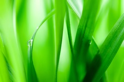 Green blades with drop of water