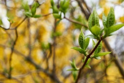green blossoming leaves on the background of Blooming yellow forsythia. Bright natural background.