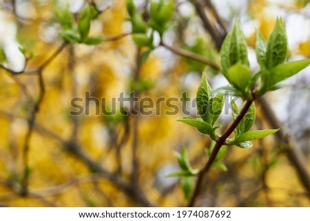 green blossoming leaves on the background of Blooming yellow forsythia. Bright natural background.  Zdjęcia stock ©