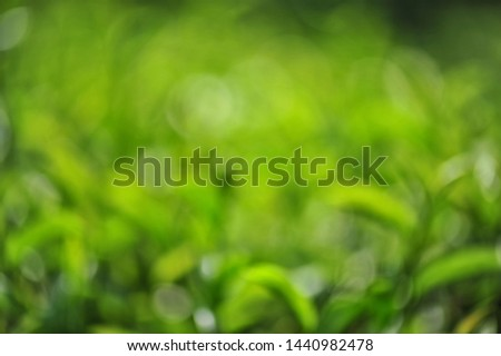 Green blurred image of tea leaves in tea plantations.