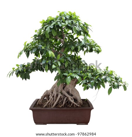 green bonsai banyan tree with white background