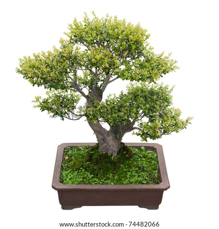 green bonsai tree  in a ceramic pot  isolated on white